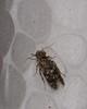 3mm Micro moth mimic micro caddis-fly Hydroptilidae Tricoptera Airlie Beach rainforest P1130612 (Steve & Alison1) Tags: micro moth mimic caddisfly hydroptilidae tricoptera airlie beach rainforest 3mm