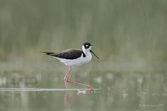 Birding Calgary - Black-necked stilt (Chantal Jacques Photography) Tags: blackneckedstilt wildandfree bokeh depthoffield