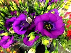 #Lisiantus (RenateEurope) Tags: 2018 renateeurope iphoneography nature violett flowers flora eusoma prairiegentian eustomarussellianum awesomeblossoms
