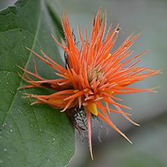 Dewy orange inflorescence of Forest Cucumber (jungle mama) Tags: forestcucumber orange vine dew wingsofthetropics psigurisumbrosa junglecucumber cucumber
