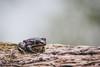 Frog (freetimephoto) Tags: nikon d7100 100mm tokina frog wildlife water outdoor vojvodina vajdasag nature carskabara amphibian photography srbija