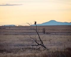 Looking forward (droy0521) Tags: plains rockymountainarsenal wildlife prairie landscape hawk dogwood52 winter bird colorado dogwoodweek1 sunrise outdoors dogwood2018 places animal
