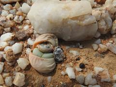 Stone plant (Argyroderma sp) - Northern Cape