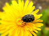 Yellow submarine (Aga Dzięcioł) Tags: yellow beatle dandelion nature pollen bug insecte black fleur