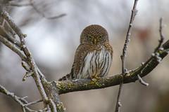 Northern Pymgy Owl (Khanh B. Tran) Tags: