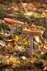 Fly agaric / Amanita muscaria (stoplamek) Tags: muchomorczerwony amanitamuscaria flyagaric fliegenpilz ovolomalefico