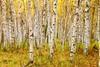 Alaska Paper Birch (Betula neoalaskana) forest around Creamer's Field, Fairbanks, Alaska (Damon Tighe) Tags: ak alaska betula birch colors creamers fairbanks fall fallcolors field forest neoalaskana trees yellow
