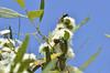 Temognatha brucki (jeans_Photos) Tags: temognathabrucki jewelbeetle large green yellow ioppolonaturereserve westernaustralia muchea eucalyptus todtiana