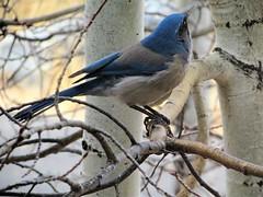 Western Scrub-Jay (thomasgorman1) Tags: birds jay wildlife nature canon scrubjay western southwest nm