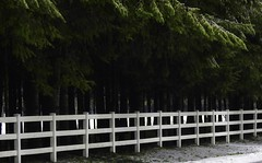 Fence Friday (robinlamb1) Tags: fencefriday nature outdoor fence whitefence tree trees evergreen snow grass langley bc