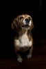 Duna Portrait (Sekanoº) Tags: strobist duna canon beagle portrait sekano 600d flash