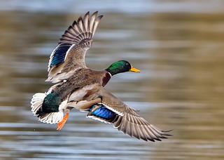 Drake  Mallard ( Anas platyrhynchos ) -  Coming in to land for the night !!