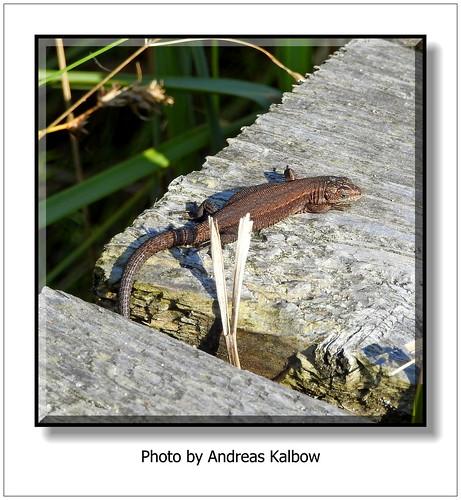 Andreas Kalbow Waldeidechse Lacerta vivipara 2015 Fischland Darß (7)