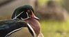 Resting Wood Duck (Explored) (Rick Derevan) Tags: bird duck woodduck anassponsa color feathers eye
