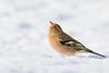 09122017-_V4A9989 (vincentadamo.com) Tags: pinson des arbres fringilla coelebs common chaffinch buchfink vink fringuello pinzón vulgar fringillidae neige snow bird oiseau