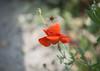 201506MOMODSC_3725-6 (xcyclopex) Tags: coquelicots fleurs proxi rouge