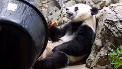 I wikes cawwots,  just wike my mama & daddy! (heights.18145) Tags: snz pandas beibei tiantian meixiang ccncby sandyg carrots