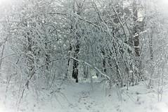 Een sprookje / A fairytale (wilma HW61) Tags: winter vinter hiver inverno sneeuw schnee snow neige neve natuur nature natur naturaleza hattem gelderland veluwe nederland niederlande netherlands nikond90 holland holanda paysbas paesibassi paísesbajos europa europe landscape landschap landshaft landgoed landschaft view scenery scenario bos woods forest foresta forêt outdoor wilmahw61 wilmawesterhoud molecate wood tree