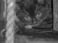 Chaton ! (Mietton Cédric) Tags: bébéchaton chatte petitchat bébéchat petitschats petitechatte chatons chat chaton félixlechat chats petitchats minet minou poils poilus bouledepoils animaldomestique animauxdomestiques animal animaldecompagnie animauxdomestique animaux nature tamronsp90mmf28dimacro11vcusd lumière luminosité lumineux noiretblanc noir blanc black white grey blackandwhite blackwhite cat cats tamron nikon bw gris monochrom monochrome