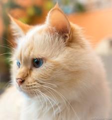 Dreamy Arjuna 2 (DiDaDoDeborah) Tags: cat catlover catmoments cats flickrcats birman holybirman redpointbirman whitecat catportrait petlover petportrait sigma 1035 sigma1035 nikond5200 animal animalportrait catface blueeyes birmancat red point white bestcat bokeh portrait