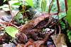 Belmopan - Southern Gulf Coast Toad (Drriss & Marrionn) Tags: travel centralamerica belize belmopan sthermansblueholenationalpark animal animals toad southerngulfcoasttoad inciliusvalliceps toads amphibian amphibians bufovalliceps taxonomy:binomial=inciliusvalliceps taxonomy:genus=incilius taxonomy:species=inciliusvalliceps taxonomy:family=bufonidae taxonomy:order=anura taxonomy:infraclass=lissamphibia taxonomy:class=amphibia taxonomy:superclass=gnathostomata taxonomy:phylum=chordata bufonidae anura brown jungle cayo cayodistrict amphibia rainforest