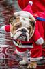 Merry Christmas.. (Andy J Newman) Tags: charity santarun nikon funrun dog run bristol docks bristoldocks colorefex hospice costume santa d500 england unitedkingdom gb