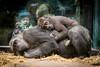 2017-12-17-14h11m36.BL7R5991 (A.J. Haverkamp) Tags: canonef100400mmf4556lisiiusmlens shae shindy amsterdam noordholland netherlands zoo dierentuin httpwwwartisnl artis thenetherlands gorilla sindy pobrotterdamthenetherlands dob03061985 pobamsterdamthenetherlands dob21012016 nl