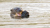 Ariranha | Lobo Gargantilla (..Javier Parigini) Tags: ariranha lobogargantilla brazil brasil br matogrosso pantanal poconé pocone traspantaneira naturaleza nature nikon d4 200400mm vrii f4 javierparigini flickr wildlife wildlifephotography vidasalvaje