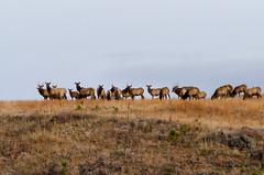 Elk Herd (janelle.streed) Tags: elk cervuselaphus herdanimals elkherd herd wildlife animal nature outdoors custerstatepark southdakota blackhills stateparks animals