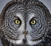 "Great Gray Owl - ""In Your Face"" (Turk Images) Tags: aspenparkland borealfringe greatgrayowl strixnebulosa alberta birds ggow opal owls strigidae winter"