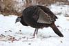 Wild Turkey in the Snow (U.S. Fish and Wildlife Service - Midwest Region) Tags: minnesota mn fortsnelling statepark nature december 2017 winter fall snow turkey turkeys forage wildturkey bird birds birding