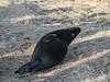 MID_0890 (mikedoylepics) Tags: seal seals greyseal donnanook lincolnshire lincolnshirewildlifetrust animals british britishwildlife d500 mammals nature nikon nikond500 wildlife wild