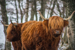 Highland Coos (Steve Samosa Photography) Tags: highlandcows scotland unitedkingdom gb farming cow