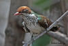 DIEDERIK  CUCKOO  //  CHRYSOCOCYX  CAPRIUS  (20cm) (tom webzell) Tags: s visits unning image this usu