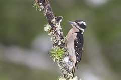 Hairy Woodpecker (thomasbarbin) Tags: leuconotopicus villosus hairy woodpecker bird birds avian wildlife animal nature photography british columbia victoria canada canon 7d