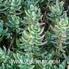 Prenia pallens (SUBENUIX) Tags: aizoaceae preniapallens suculentas subenuix subenuixcom planta suculent suculenta botanic botanical