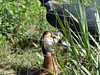 1-ANS-Anat White-faced Whistling Duck (Dendrocygna viduata) at LPZ (2) (Lee_D) Tags: fl lpz capt zoo