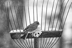 Holiday Cheer (dshoning) Tags: bird rake snow flake junco winter iowa december bw flakes