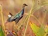 Purple Gallinule immature 01-20171225 (Kenneth Cole Schneider) Tags: florida miramar westmiramarwca