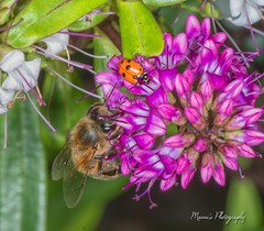 Bee and Lady Bug_9192 (Manni750) Tags: bee lad bug flower flowers plants garden summer spring pollen closeup macro
