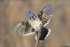 Blue Jay Nailing the Landing (Daniel Cadieux) Tags: jay bluejay flight fly flying land landing wings tail blue ottawa