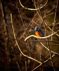 Kingfisher (Colin-47) Tags: kingfisher bird norfolk riverbure coltishal panasonicdmcg80 lumixgvario100300f456ii m43 microfourthirds december winter 2017 colourful alcedoatthis