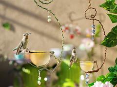 Sharing (theresazphotography) Tags: hummingbird hummingbirdphotography californiahummingbirds balconygarden cityhummingbirds sharing annashummingbird no gmo theresazphotography losangeles socal southerncalifornia