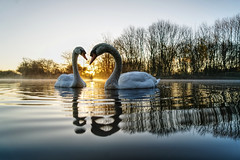 Sunrise Swan Heart (Mark Buchan Jones) Tags: daisynook countrypark crimelake swan sunrise dawn trees reflection towpath mist wake ripples peaceful failsworth manchester uk oldham cygnusolor muteswan wildlife morning pair cob pen bubble twoswans