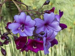 Meriania nobilis -flowering  tree- (PriscillaBurcher) Tags: merianianobilis árbolesqueflorecen floweringtrees amarrabollo melastomatacea colombia meriania purple l1510796