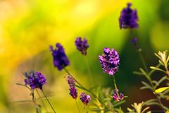 "PurpleFlower (DonBantumPhotography.com) Tags: wildlife nature flower purpleflower ""donbantumphotographycom"" ""donbantumcom"" ""nikon d7200"" ""afs nikkor 200500mm f56e ed vr"""