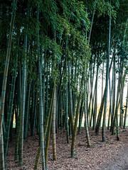 Bamboo. (TLV and more) Tags: garden japan leicadgsummilux25mmf14asph panasonicdmcgx85 landscape bamboo