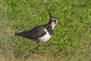 lapwing (colin 1957) Tags: lapwing plover