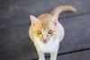 DSCF8275 (aaroncaley) Tags: vietnam phuquoc animal cat