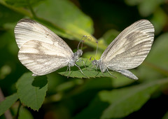 Wood White Leptidia Sinapis,courtship dance. (trevorwilson1607) Tags: woodwhite lepidoptera butterflies courtshipdisplay macro fascinating delicate